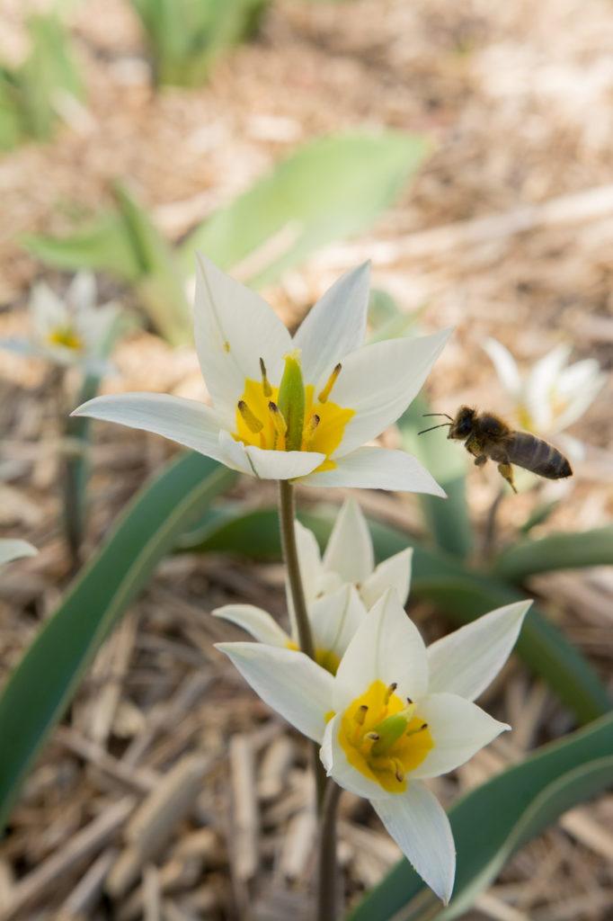 Tuplen mit Biene